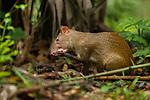 Central American Agouti (Dasyprocta punctata) cleaning paw, Metropolitan Natural Park, Panama City, Panama