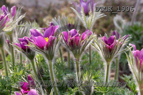 Gisela, FLOWERS, BLUMEN, FLORES, photos+++++,DTGK1906,#f#