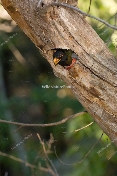 Male Trogon calling from nest; Chiricahua Mountains, Arizona