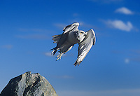 540750022 a white morph adult captive gyrfalcon falco rusticolus takes flight from its perch on a large boulder in colorado