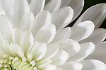 San Diego, California; a detailed view of the white and light green petals of a Chrysanthemums flower