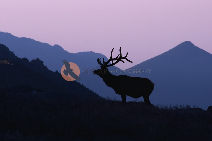 Elk in silhouette standing in the mountains at sunrise