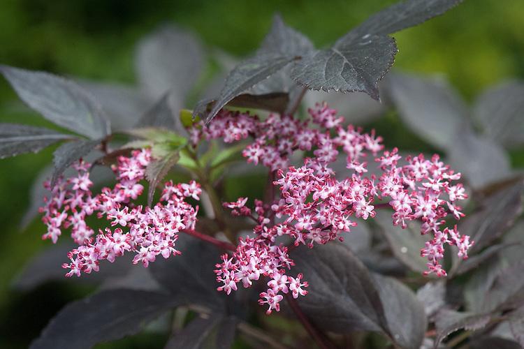 Sambucus nigra 'Black Beauty' (syn. Sambucus nigra f. porphyrophylla 'Gerda'), early June. A deciduous shrub or small tree, with deep purple foliage from spring to autumn and flat heads of small, pinkish-purple flowers, followed by purple-black berries