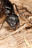 Braunschwarze Rossameise, frisst mit ihren kräftigen Mandibeln an morschem Holz, Portrait, Porträt, Riesenameise, Holzzerstörende Rossameise, Königin, Ross-Ameise, Riesen-Ameise, Roßameise, Camponotus ligniperdus, Camponotus ligniperda, carpenter ant