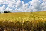 Field of barely crop growing in sloping hillside , Little Blakenham, Suffolk, England, UK