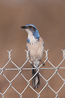 Western Scrub-Jay (Aphelocoma californica) perching on a fence