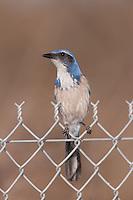 Western Scrub-Jay (Aphelocoma californica) perching on a fence