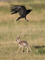 Perhaps the highlight of my spring trip was seeing this unique interaction between pronghorn fawns and Common Ravens. The ravens may have been drawn by the smell of the newborns.