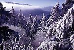 Snow Laden Hemlocks in Winter, Dog Mountain, Columbia river Gorge, Washington