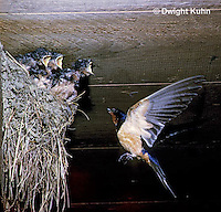 BA04-009z   Barn Swallow - adult flying to nest of young birds - Hirundo rustica
