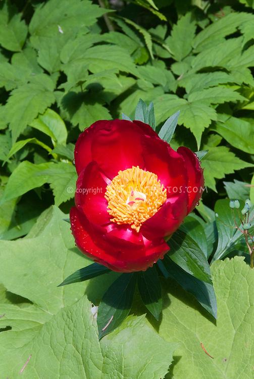 Peony Scarlet O'Hara peonies in red flowers in June early summer perennial