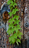 Woodbine (Virginia Creeper), Parthenocissus quinquefolia, grows as a vine and here crosses log boards on a rustic cabin door, Ellison Bay, Door County, Wisconsin