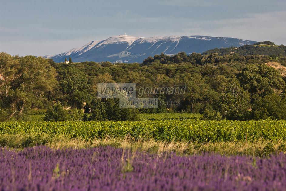 Europe/France/Rhône-Alpes/26/Drôme/ Le Pègue;Champ de Lavande et  Vignoble des Côtes du Rhône AOC et en fond le Ventoux