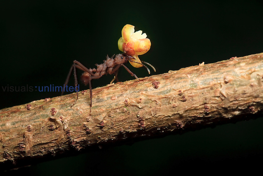 Leafcutter Ant carrying a large load, Costa Rica