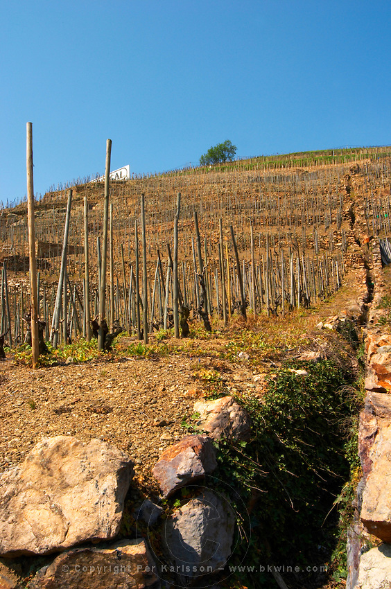 Dramatic slope with a deep water ditch trench for drainage. Terraced vineyards in the Cote Rotie district around Ampuis in northern Rhone planted with the Syrah grape. Ampuis, Cote Rotie, Rhone, France, Europe