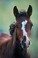 Wild horse colt.  Western U.S..(Equus caballus)