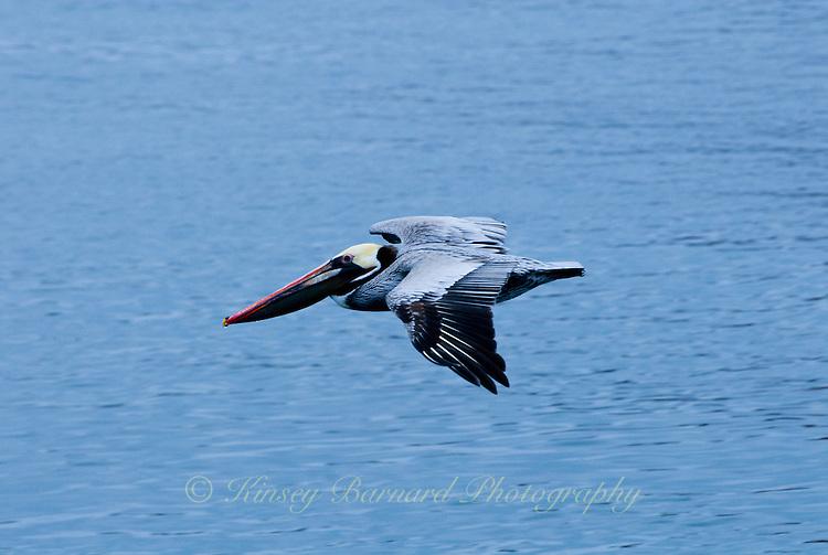 California Brown Pelican in flight over Monterey Bay