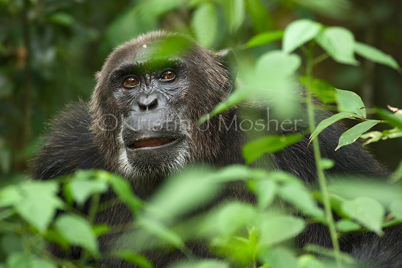 Lofty.Eastern Male Chimpanzee (Pan troglodytes schweinurthii).Ngogo community, Kibale National Park, Uganda