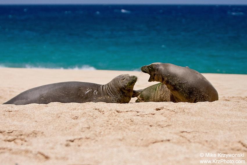 Hawaiian Monk Seals playing on Keiki Beach, North Shore, Oahu