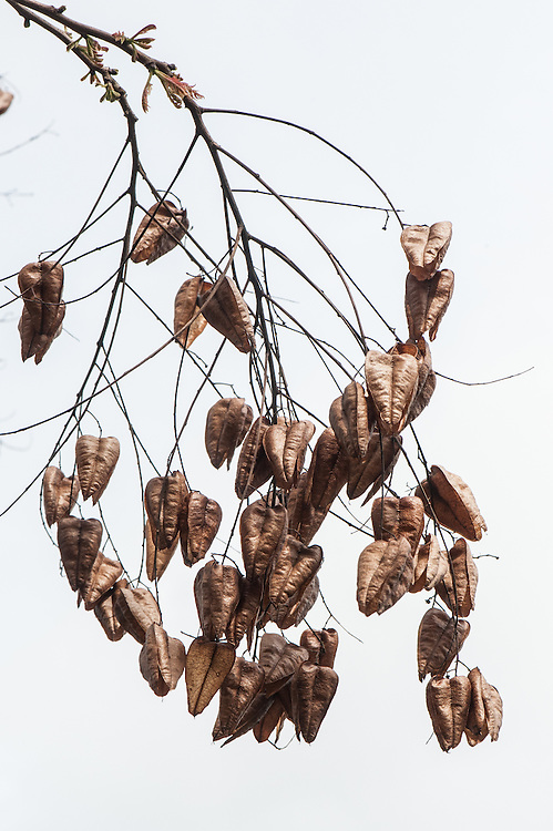 Dried fruit or seed pods of Pride of India or Goldenrain tree (Koelreuteria paniculata), early April. Native to China, Korea and Japan.