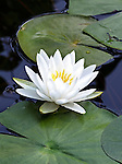 A fragrant waterlily between two pads.