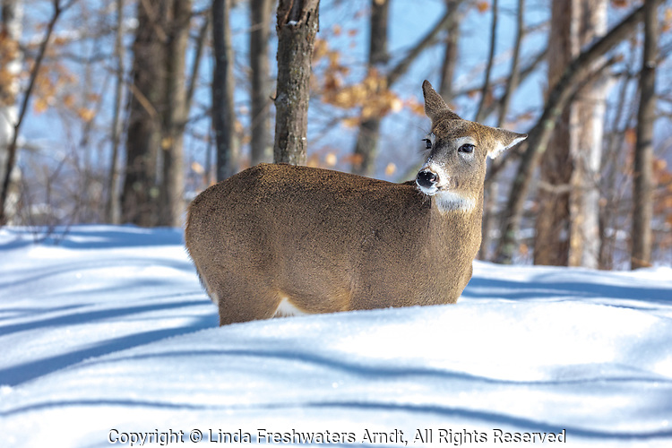 White-tailed doe standing in the deep snow of a northern Wisconsin forest.