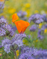 California Poppy (Eschscholzia californica) growing among Lacy Phacelia (Phacelia tanacetifolia) blooms.  Southern California.  March.