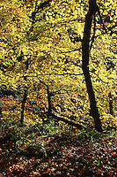 Autumn colours, Calderglen Country Park, East Kilbride, South Lanarkshire<br /> <br /> Copyright www.scottishhorizons.co.uk/Keith Fergus 2011 All Rights Reserved