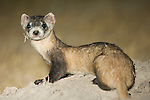 Portrait of a black-footed ferret in Buffalo Gap National Grassland, South Dakota.