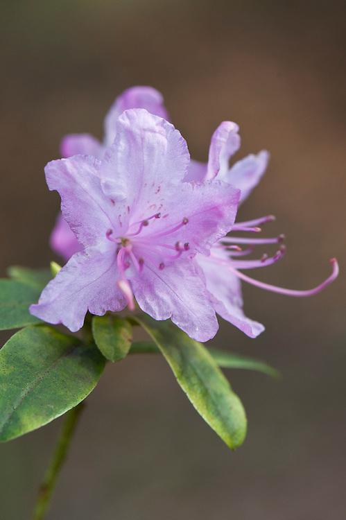 Rhododendron 'Conemaugh' (racemosum x mucronulatum)