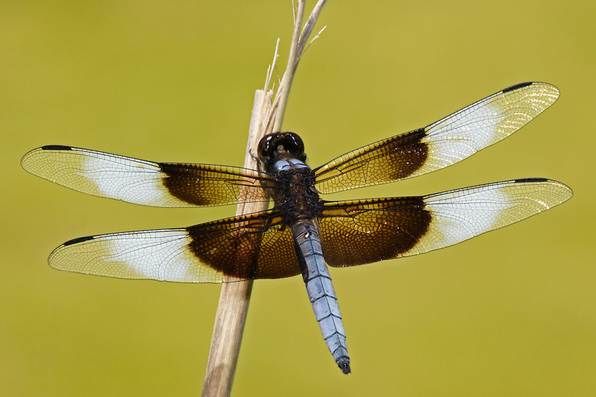 The Widow Skimmer is one of the group of dragonflies known as King Skimmers.