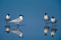 581683001 a flock of gull-billed terns sterna nilotica stand quietly in the lake at salton sea national wildlife refuge in southern california