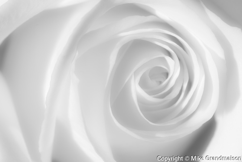 Single white rose<br /> Winnipeg<br /> Manitoba<br /> Canada