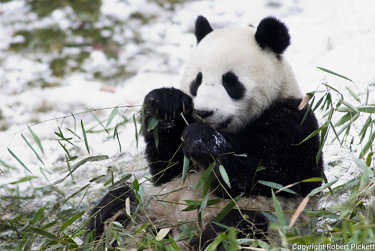 Giant Panda, Ailuropoda melanoleuca, feeding on bamboo, Wolong Research and Conservation Centre, Sichuan (Szechwan) Province Central China, can handle bamboo with great dexterity with extended sesamoid bone in wrist which acts like false thumb, reserve, b