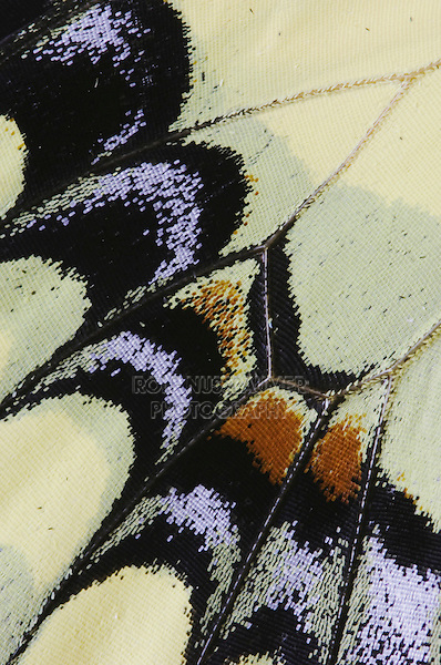 Giant Swallowtail, Papilio cresphontes, wing detail, Willacy County, Rio Grande Valley, Texas, USA
