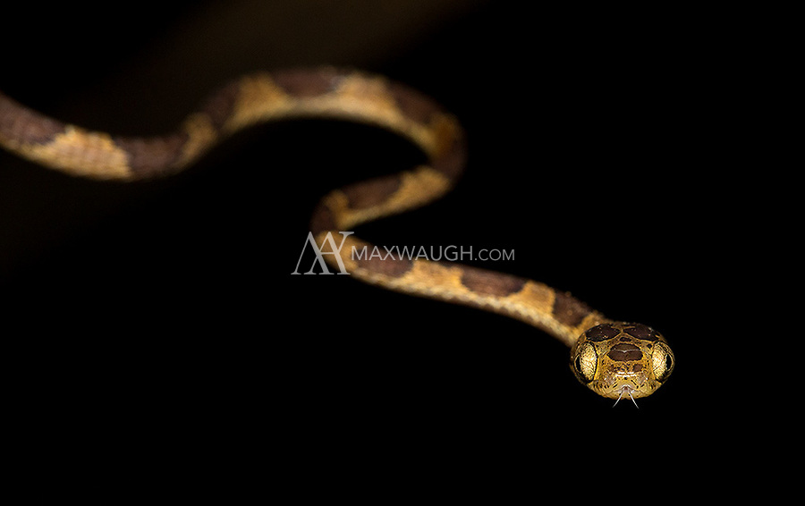 One of the world's skinniest snake species.