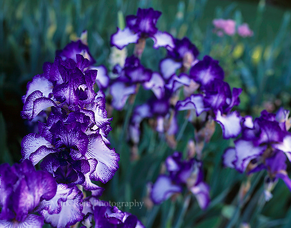 Purple Iris at the Schriener's Iris Gardens in Brooks Oregon