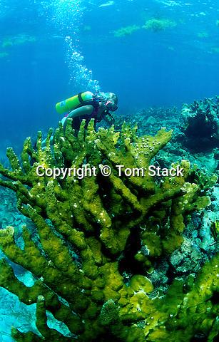 Elkhorn Coral, Key Largo, Florida