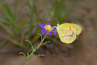 389650021 a wild sleepy orange butterfly eurema nicippe feeds on a small wildflower in city of rocks state park new mexico