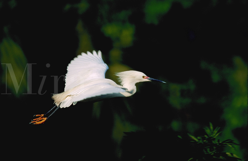 Snowy Egret in flight, Florida