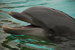 dolphin, Tursiops truncatus, water, Florida, not released