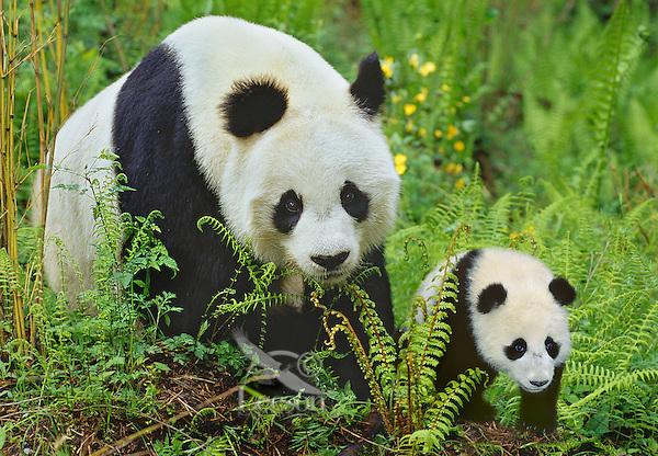 Giant Panda (Ailuropoda melanoleuca) mother and young cub.