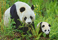 Giant Panda (Ailuropoda melanoleuca) mother and young cub.