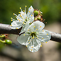 Blossom of Plum 'Prune Peche', early May.