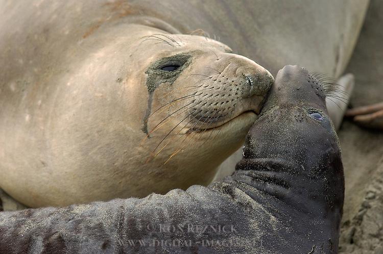 Mother Love, Elephant Seal Cuddling Pup, Northern Elephant Seal, Piedras Blancas Rookery, San Simeon, California