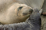 Mother Love, Elephant Seal Cuddling Pup, Northern Elephant Seal, Piedras Blancas Rookery, San Simeon, California