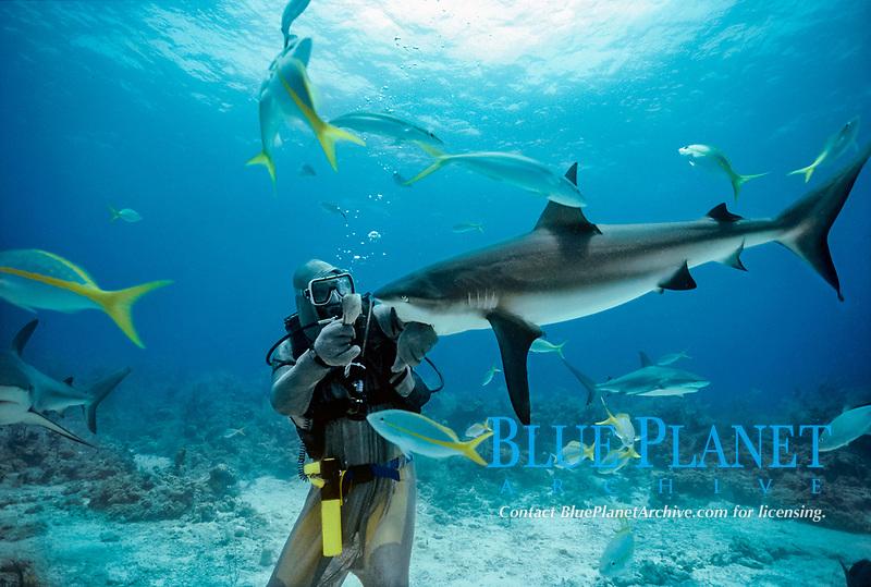 Shark handler feeds Caribbean Reef Shark, Carcharhinus perezii. Bahamas, Caribbean Sea.