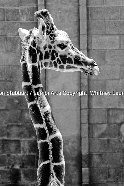 2007 Copyright  Whitney Lauren Robinson Stubbart / Lambi Arts Black & White Photography