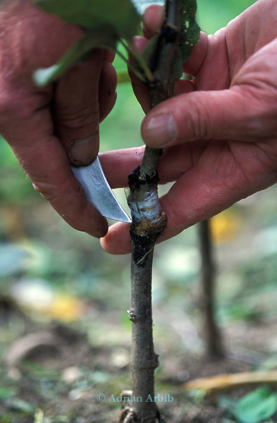 Nick Houston grafts a rare variety of apple onto  a crab apple root stock.  JC Allgroves Orchards,Langley, Slough