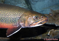 """1212-0908  Detail of Head and Operculum, Eastern Brook trout, Salvelinus fontinalis (formerly Salmo trutta fario) """"from New England, United States""""  © David Kuhn/Dwight Kuhn Photography"""